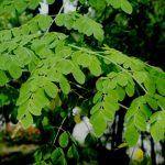 Moringa l'arbre miracle aux multiples vertus